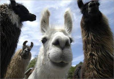 YES! The Llamas ARE coming tonight! (July 9th)